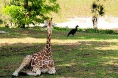 giraffbarn Arkivfoton