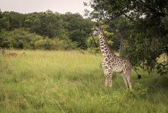 Giraffbarn bredvid ett träd på en savann Royaltyfria Bilder