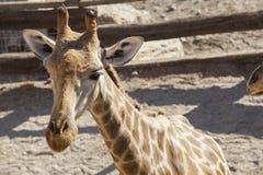 Giraffbarnstående Royaltyfri Bild