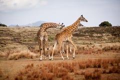 GiraffCamelopardalis familj royaltyfri foto