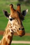 GiraffCloseup Royaltyfri Bild