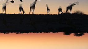Giraffdricksvatten i waterhole arkivfilmer