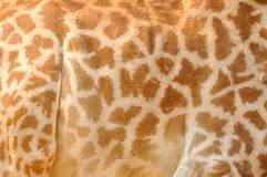 Giraffe�s skin Royalty Free Stock Photography