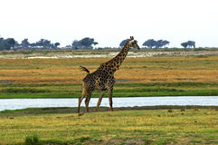 Giraffe à un fleuve Images stock