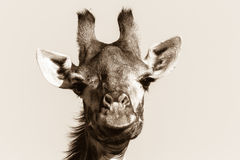 Giraffe άγριας φύσης ζωικός επικεφαλής μαύρος άσπρος τρύγος Στοκ Εικόνες