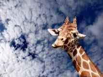 giraffe άγρια περιοχές Στοκ εικόνα με δικαίωμα ελεύθερης χρήσης