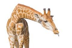 Giraffe έβαλε έξω τη γλώσσα η ανασκόπηση απομόνωσε το λευκό ψαλίδισμα Στοκ Φωτογραφίες