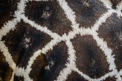 Giraffe δέρμα Στοκ Φωτογραφίες