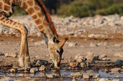 Giraffe έχει ένα ποτό σε ένα waterhole Στοκ Εικόνες