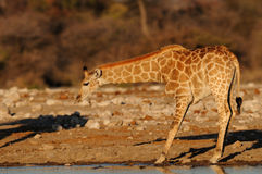 Giraffe έχει ένα ποτό σε ένα waterhole Στοκ εικόνα με δικαίωμα ελεύθερης χρήσης