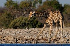 Giraffe έχει ένα ποτό Στοκ φωτογραφία με δικαίωμα ελεύθερης χρήσης