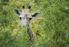 Giraffe αγελάδα στο πράσινο foilage Στοκ φωτογραφία με δικαίωμα ελεύθερης χρήσης