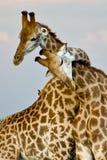 giraffe αγκάλιασμα στοκ φωτογραφία με δικαίωμα ελεύθερης χρήσης