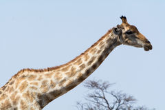 Giraffe λαιμός τεντώματος Στοκ φωτογραφία με δικαίωμα ελεύθερης χρήσης