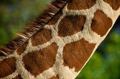 Giraffe λαιμός Στοκ Εικόνες