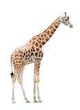 giraffe ανασκόπησης απομόνωσε τ& Στοκ Φωτογραφίες