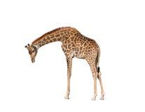 giraffe ανασκόπησης απομόνωσε τ& Στοκ Εικόνες