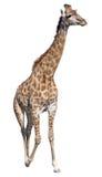 giraffe ανασκόπησης απομόνωσε τ& Στοκ Εικόνα