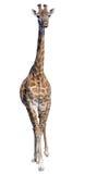 giraffe ανασκόπησης απομόνωσε τ& Στοκ εικόνες με δικαίωμα ελεύθερης χρήσης