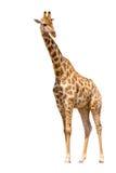 giraffe ανασκόπησης απομόνωσε τ& Στοκ εικόνα με δικαίωμα ελεύθερης χρήσης