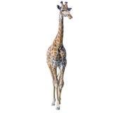 giraffe ανασκόπησης απομόνωσε τ& Στοκ φωτογραφίες με δικαίωμα ελεύθερης χρήσης