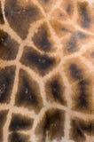 giraffe ανασκόπησης δέρμα Στοκ Φωτογραφία