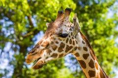 giraffe ανασκόπησης επικεφαλής πορτρέτο λαιμών Στοκ εικόνες με δικαίωμα ελεύθερης χρήσης