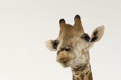 giraffe ανασκόπησης επικεφαλή&si Στοκ Εικόνα