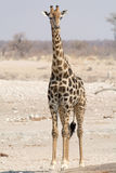 giraffe ανασκόπησης επικεφαλής πορτρέτο λαιμών Στοκ Φωτογραφία