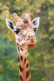 giraffe ανασκόπησης επικεφαλής πορτρέτο λαιμών Στοκ Εικόνα