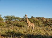 giraffe ανασκόπησης επικεφαλής πορτρέτο λαιμών Στοκ φωτογραφία με δικαίωμα ελεύθερης χρήσης