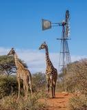 giraffe ανασκόπησης επικεφαλής πορτρέτο λαιμών Στοκ Εικόνες