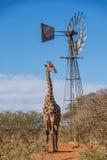 giraffe ανασκόπησης επικεφαλής πορτρέτο λαιμών Στοκ φωτογραφίες με δικαίωμα ελεύθερης χρήσης