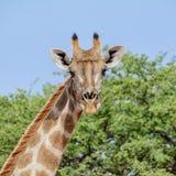 giraffe ανασκόπησης επικεφαλής πορτρέτο λαιμών Στοκ Φωτογραφίες