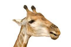 giraffe ανασκόπησης λευκό Στοκ φωτογραφίες με δικαίωμα ελεύθερης χρήσης