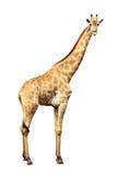 giraffe ανασκόπησης λευκό Στοκ εικόνες με δικαίωμα ελεύθερης χρήσης