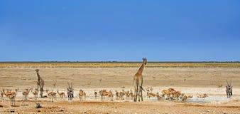 Giraffe, αντιδορκάδα, με ραβδώσεις & Gemsbok Oryx Στοκ φωτογραφίες με δικαίωμα ελεύθερης χρήσης