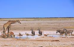 Giraffe, αντιδορκάδα, με ραβδώσεις & Gemsbok Oryx Στοκ Φωτογραφίες
