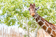 giraffe ανόητο Στοκ εικόνες με δικαίωμα ελεύθερης χρήσης
