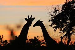 Giraffe - αφρικανικό υπόβαθρο άγριας φύσης - ζωικές σκιαγραφίες Στοκ Εικόνες