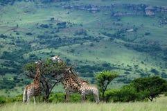 giraffe βοσκή Στοκ Εικόνες