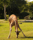 giraffe βοσκή Στοκ φωτογραφία με δικαίωμα ελεύθερης χρήσης