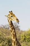 Giraffe γλώσσα Στοκ Εικόνα