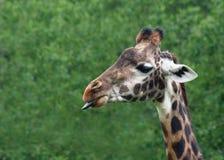 giraffe γλώσσα Στοκ Εικόνες