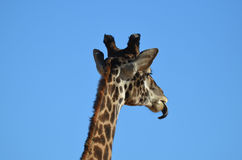 Giraffe γλώσσα που γλείφει το πηγούνι του Στοκ εικόνα με δικαίωμα ελεύθερης χρήσης
