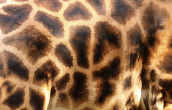 giraffe δέρμα Στοκ Φωτογραφία