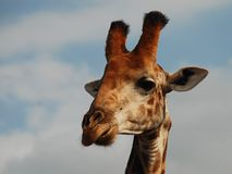 Giraffe Διασυνοριακό πάρκο Kgalagadi Βόρειο ακρωτήριο, Νότια Αφρική Στοκ Φωτογραφίες
