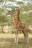 giraffe διεύθυνε δύο Στοκ εικόνα με δικαίωμα ελεύθερης χρήσης
