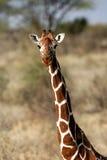 giraffe δικτυωτό Στοκ Εικόνα