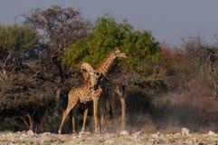 Giraffe είναι πάλη, etosha nationalpark, Ναμίμπια Στοκ Φωτογραφίες